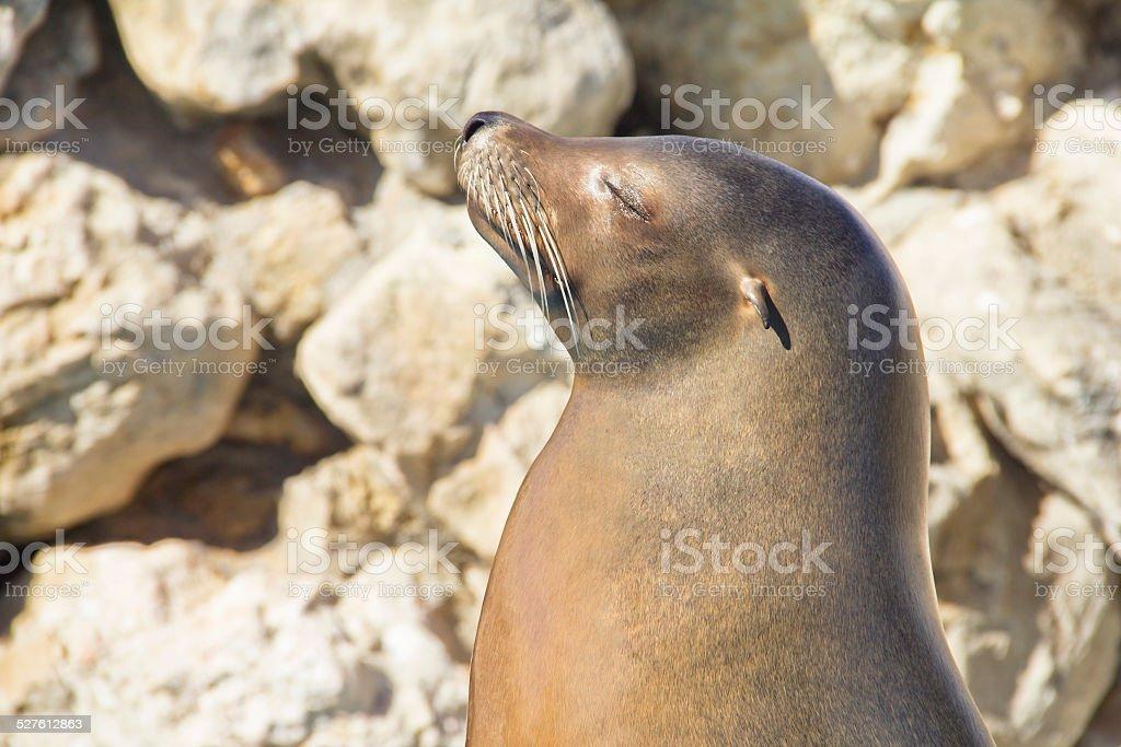 Sea lion sunbathing stock photo