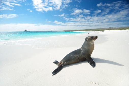 Sea lion suns himself on bright white beach with turquoise seas at Gardner Bay, Espanola Island, Galapagos