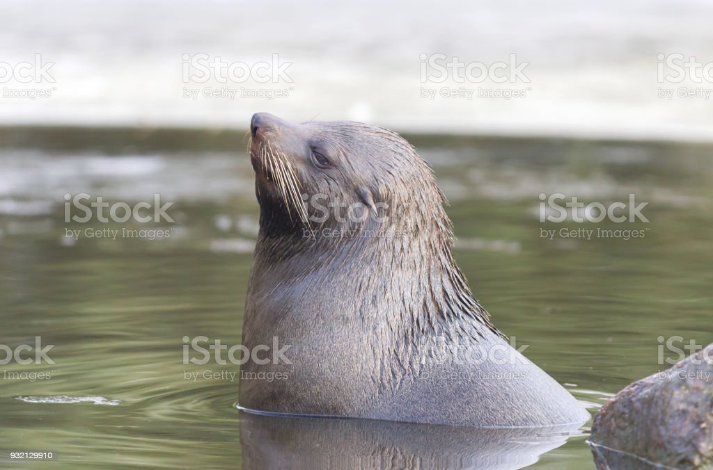 Sea lion swimming in the cold water stock photo