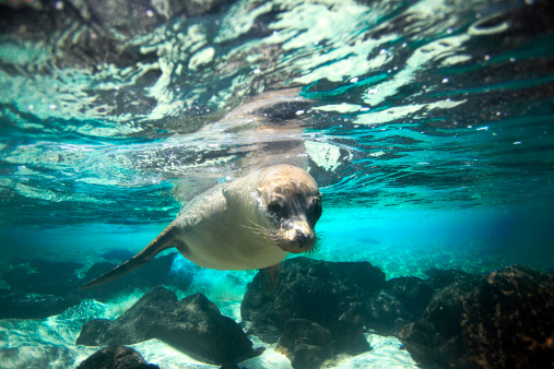Curious sea lion underwater in paradise island turquoise lagoon