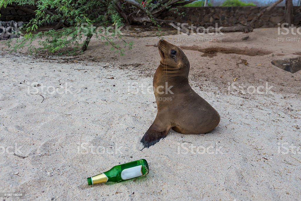 sea-lion-with-beer-bottle-galapagos-islands-ecuador-picture-id516219046