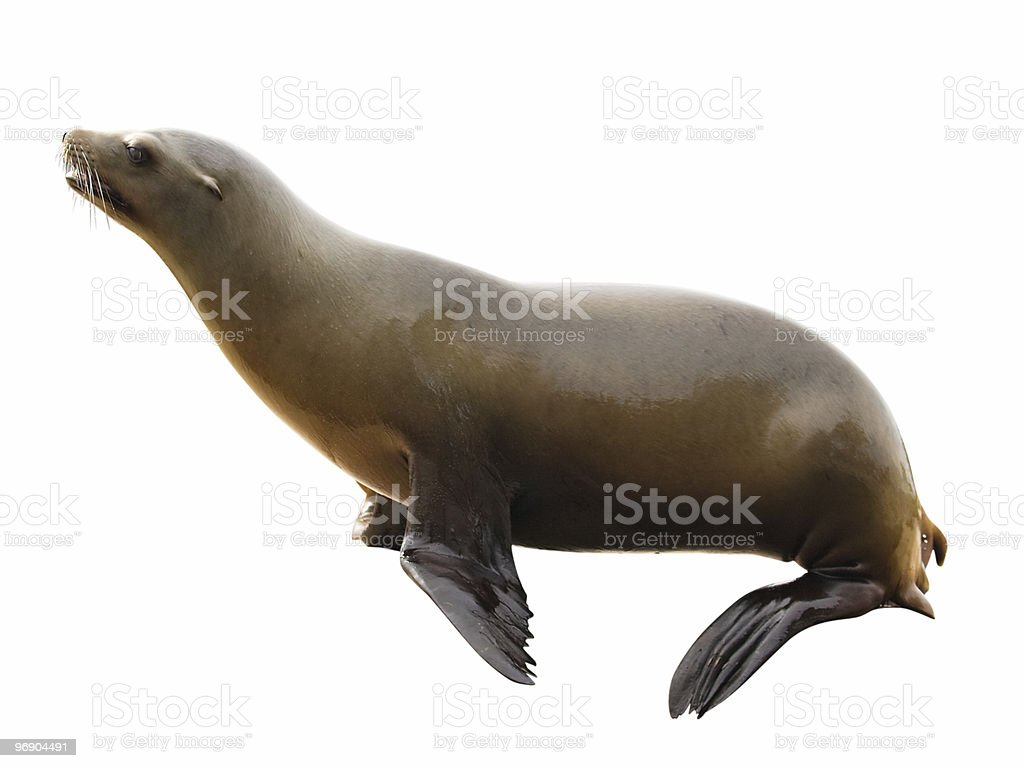 Sea lion with clipping path on white background royalty-free stock photo