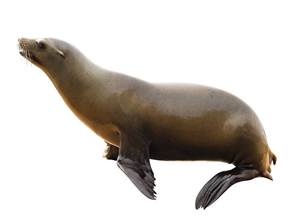 sea lion with clipping path on white background - mammal stock photos and pictures