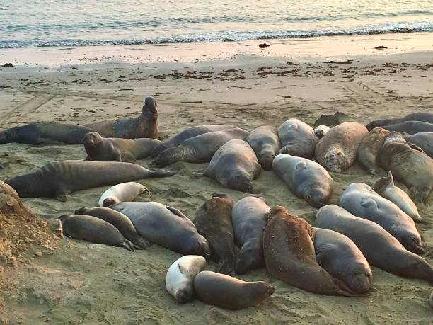 Sea lions and Seals on the coast of California. stock photo