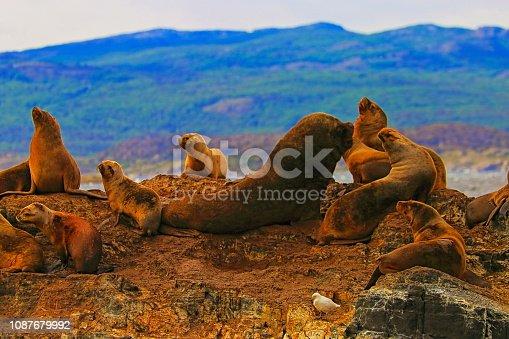 Sea lions and Seals rock island colony in Beagle Channel - Ushuaia - Tierra Del fuego, Argentina – South America