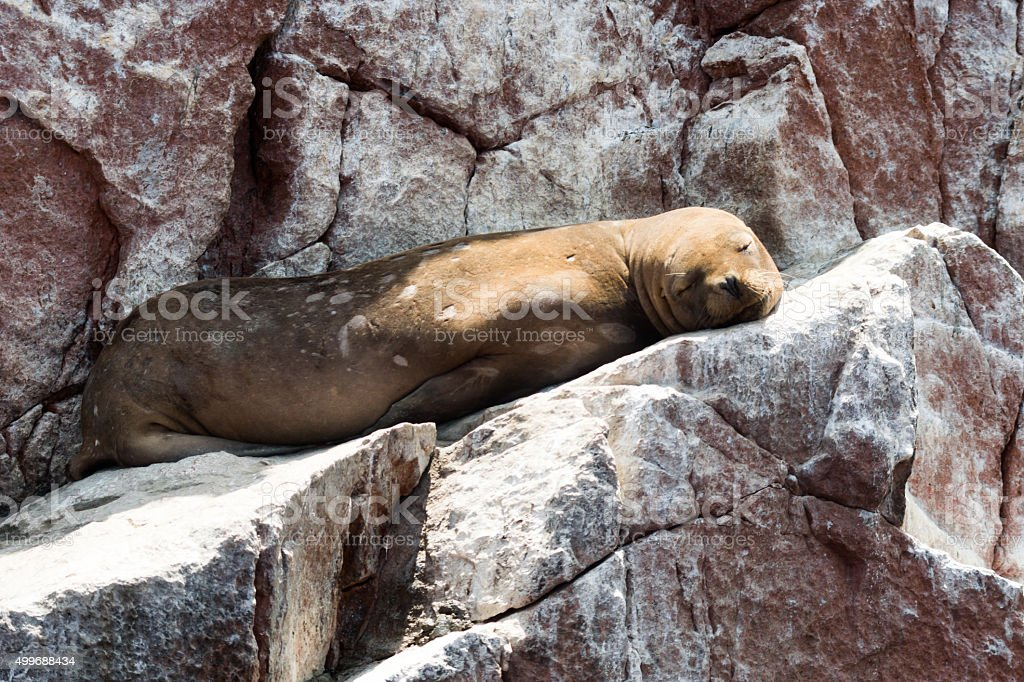 Sea lions are chilling on a rock on pacific ocean stock photo