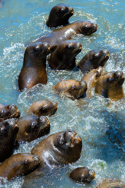 Sea Lions asking some food Chilean Sea Lions: south american sea lion stock pictures, royalty-free photos & images