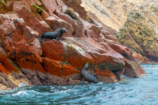 Sea Lions at Ballestas Islands, Paracas, Peru Sea Lions on the rocks at Ballestas Islands, Paracas, Peru. The islands are known for its great wildlife. pisco peru stock pictures, royalty-free photos & images