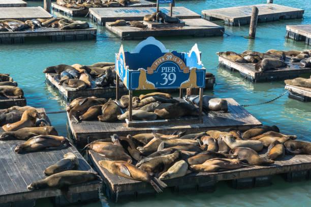 Sea lions at Pier 39, San Francisco San Francisco,California,USA - December 4, 2017 : Sea lions resting on platforms at Pier 39 san francisco bay stock pictures, royalty-free photos & images