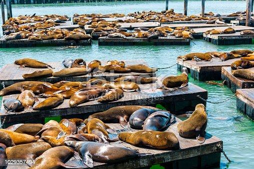 California Sea Lions (Zalophus californianus) on Pier 39 in San Francisco