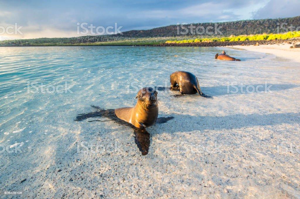 Seelöwen (Zalophus Wollebaeki) auf den Galapagos-Inseln – Foto