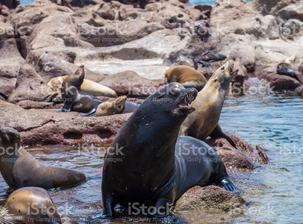 Fotografía de Lobos Marinos En La Isla Espiritu Santo La Paz Baja ...