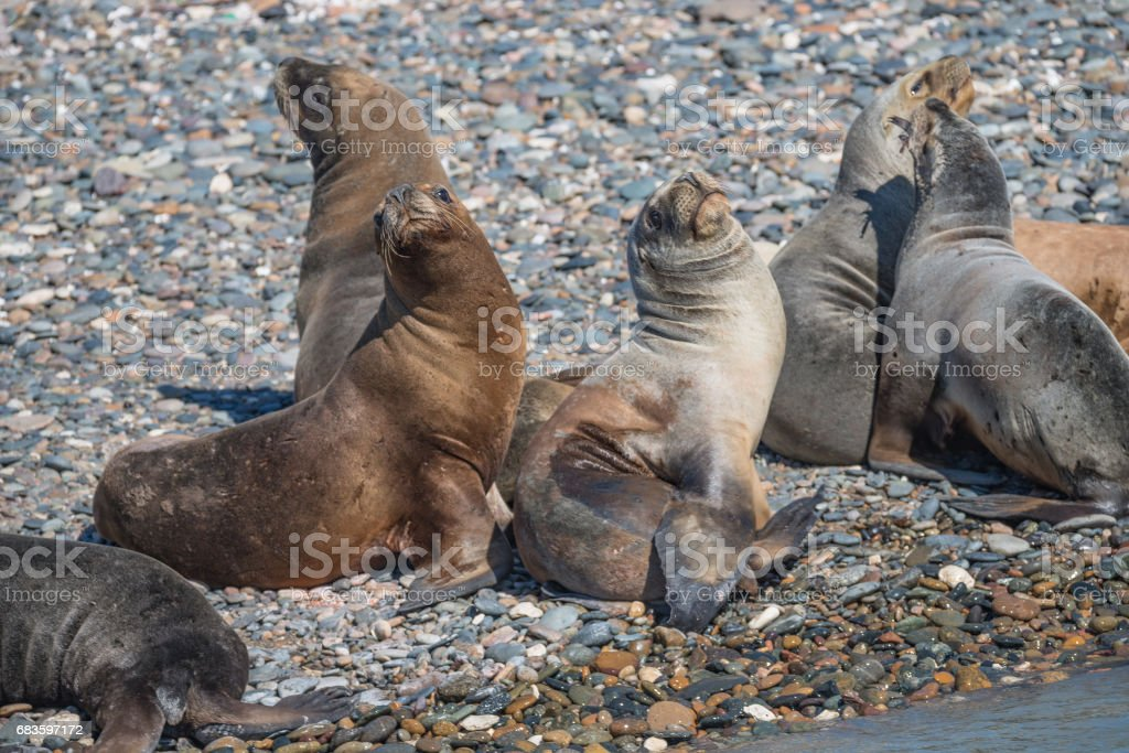 Sea lions at the Patagonia beach, Argentina stock photo