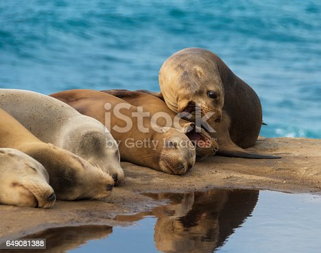 Sea Lions lying down on the rock by the ocean, while two of them are trying to bite each other.