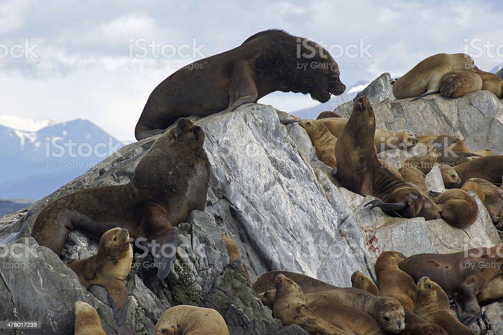 Sea Lions Colony, Beagle Channel, Argentina stock photo