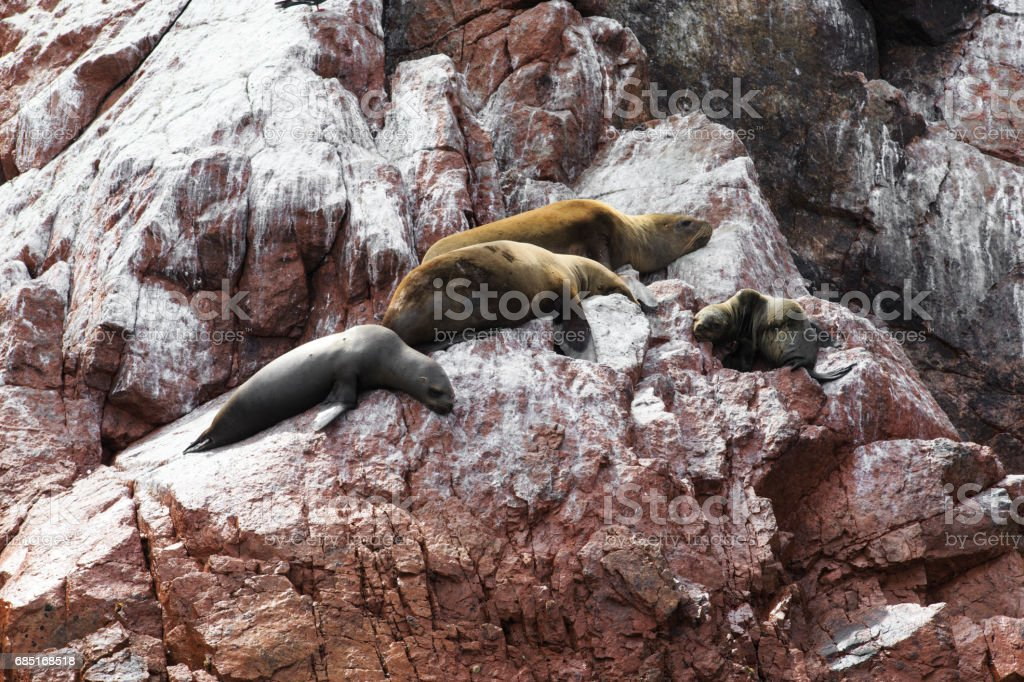 Sea lions fighting for a rock in the peruvian coast at Ballestas islands Peru royalty-free stock photo