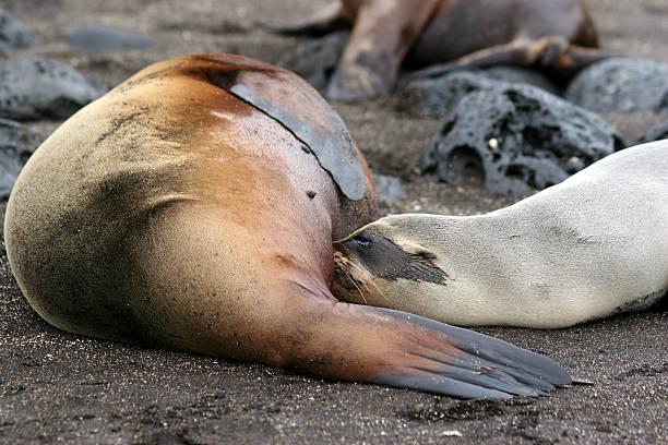 Sea Lions, Galapagos stock photo