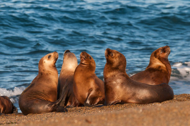Sea Lions group Sea Lion ,at beach, Patagonia - Argentina south american sea lion stock pictures, royalty-free photos & images
