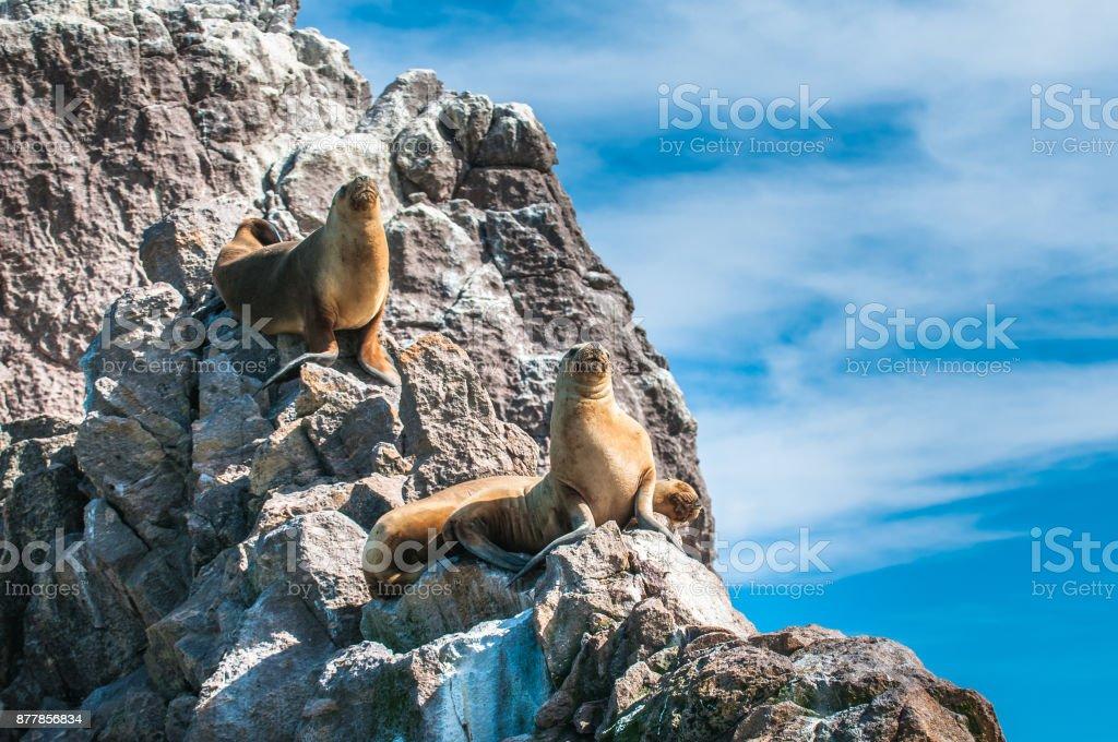 Sea Lions in Puerto Deseado, Patagonia, Argentina stock photo