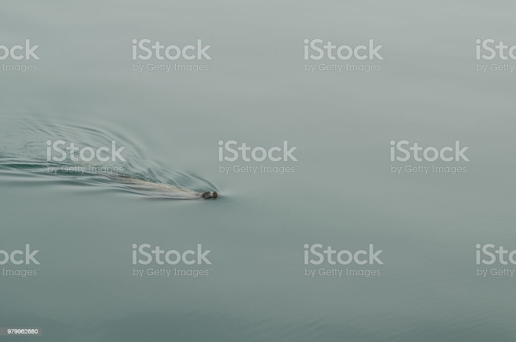 Sea lions in the wild stock photo