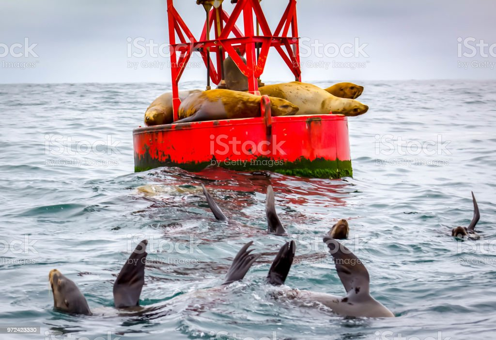 Sea Lions near bouy stock photo
