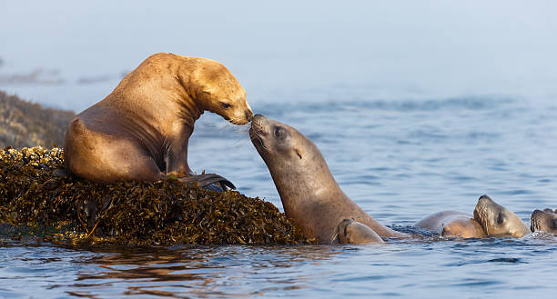 sea lions nuzzling - mammal stock photos and pictures