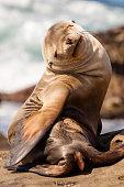 Sea Lions at La Jolla, Ca Cove