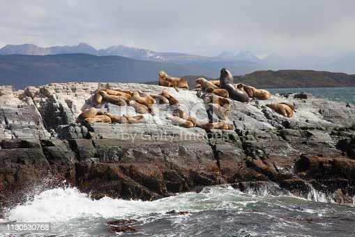 Sea lions on an island in the Beagle channel, Ushuaia, Tierra del Fuego, Argentina