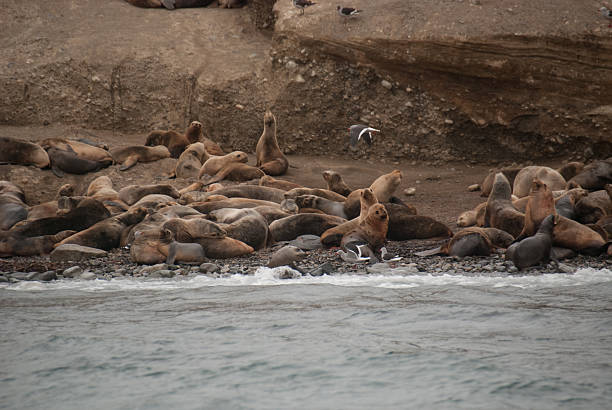 Sea Lions on Isla Marta, Chile A colony of South American Sea Lions (also called Southern Sea Lions and Patagonian Sea Lions) on Marta Island near Punta Arenas, Chile. It is the only member of the genus Otaria. south american sea lion stock pictures, royalty-free photos & images