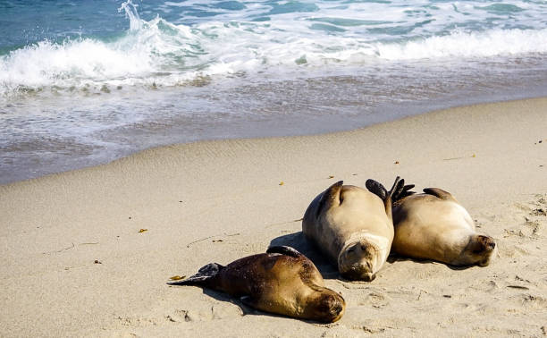 Sea Lions on the coastline stock photo