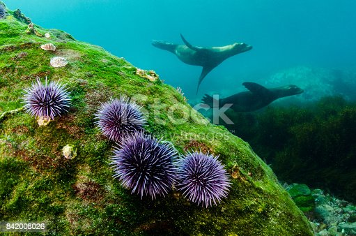 A pair of sea lions swim by a rock with purple urchins.