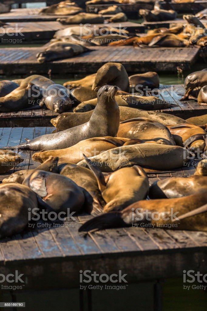 Sea Lions stock photo