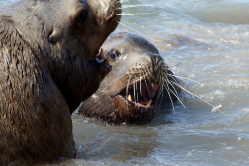 Sea Lions Stock Photo - Download Image Now