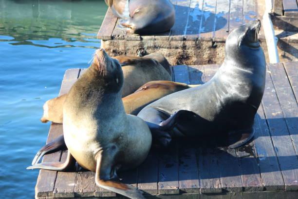 Sea lions. Pier 39 , San Francisco , California Sea lions san francisco bay stock pictures, royalty-free photos & images