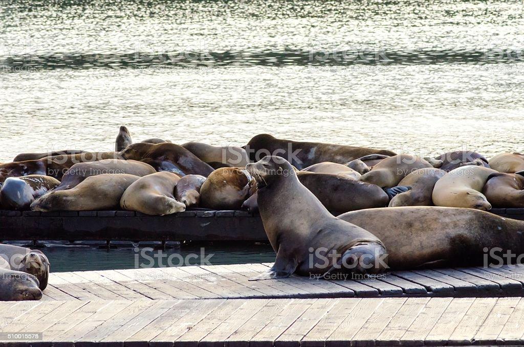 Sea lions, Pier 39, San Francisco, California stock photo