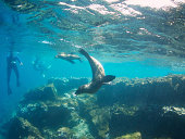 Curious sealions approach snorkelers on an underwater eco-tour in Galapagos Islands