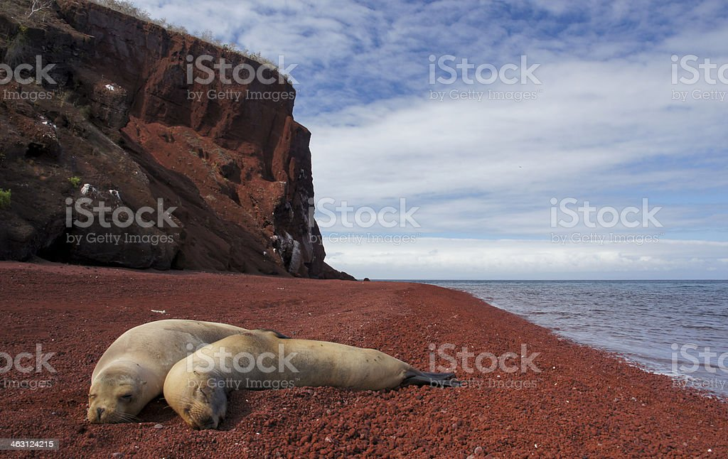 Sea Lions relaxing on a lava beach stock photo