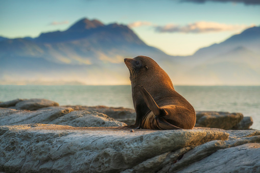Sea lions resting on a rock at Kaikoura beach, South Island, New Zealand
