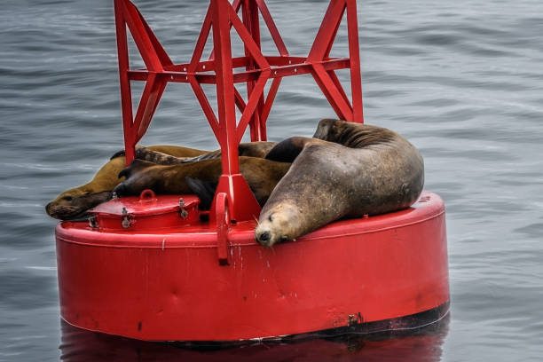 Sea Lions sleeping on a navigational buoy in the Alaska Inside Passage stock photo