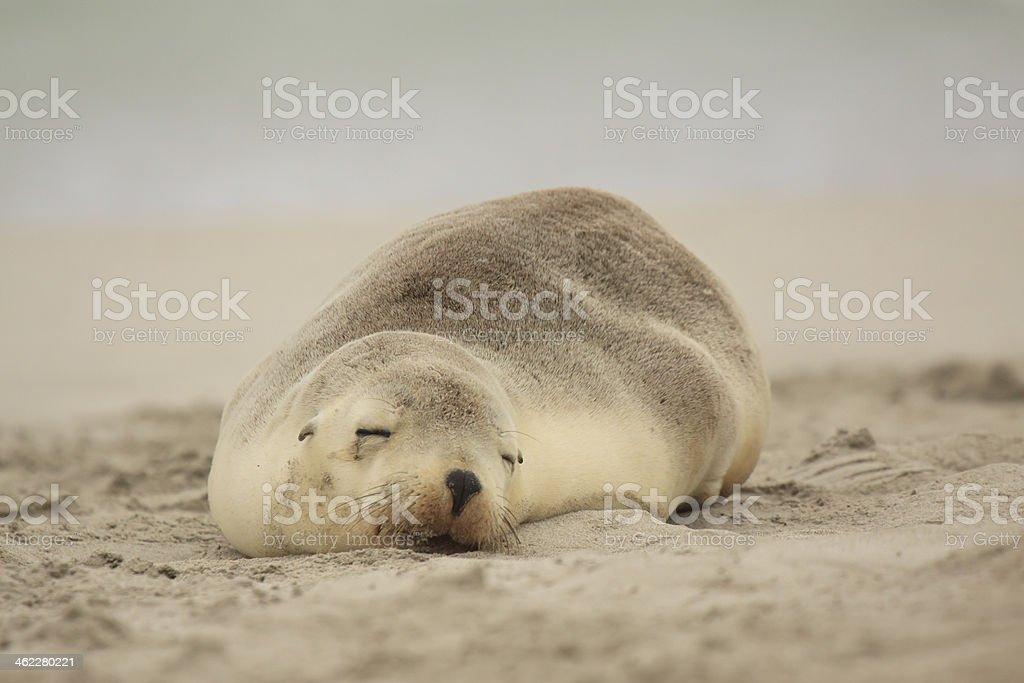 Sea Lions sleeping on Australian beach stock photo
