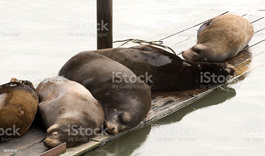 Sea Lions Sleeping royalty-free stock photo