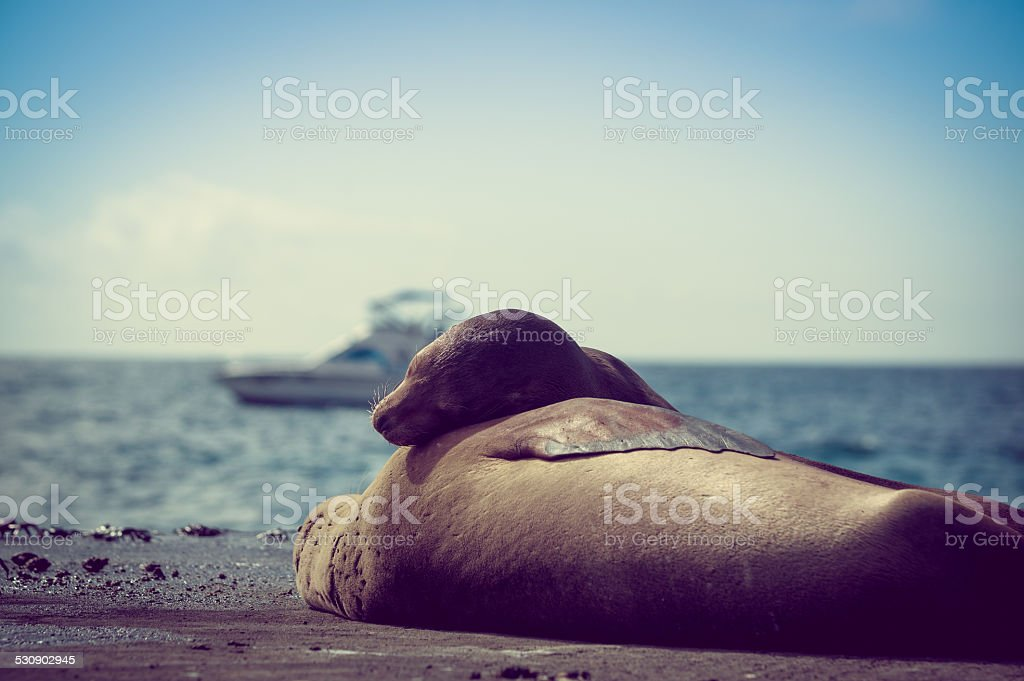 sea lions sleeping together in the galapagos islands stock photo