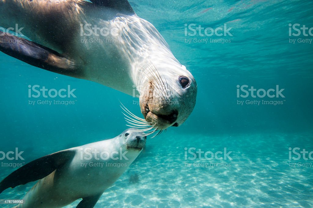 Sea lions underwater looking at you stock photo