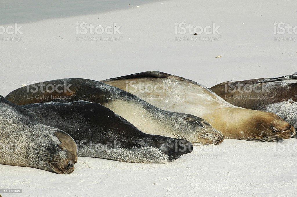 sea lions, Zalophus californianus wollebacki stock photo