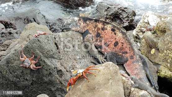 Cute Sea lizard and red crabs in the Galapagos Islands