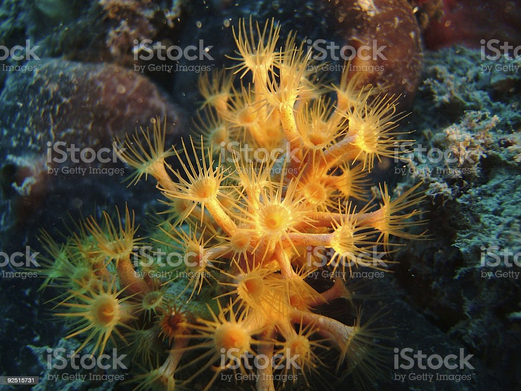 sea marguerite stock photo