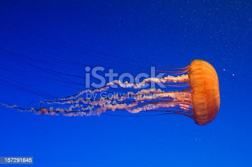 Jellyfish are marine invertebrates belonging to the Scyphozoan class, and in turn the phylum Cnidaria. The body of an adult jellyfish is composed of a bell-shaped, jelly producing substance enclosing its internal structure, from which the creature's tentacles are suspended. Each tentacle is covered with stinging cells (cnidocytes) that can sting or kill other animals.