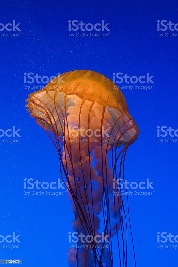 Sea Nettle royalty-free stock photo