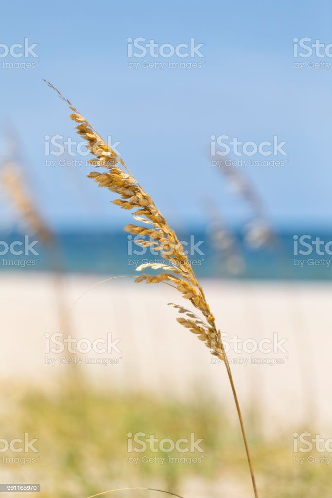 Sea oat grass on the beach in Florida stock photo