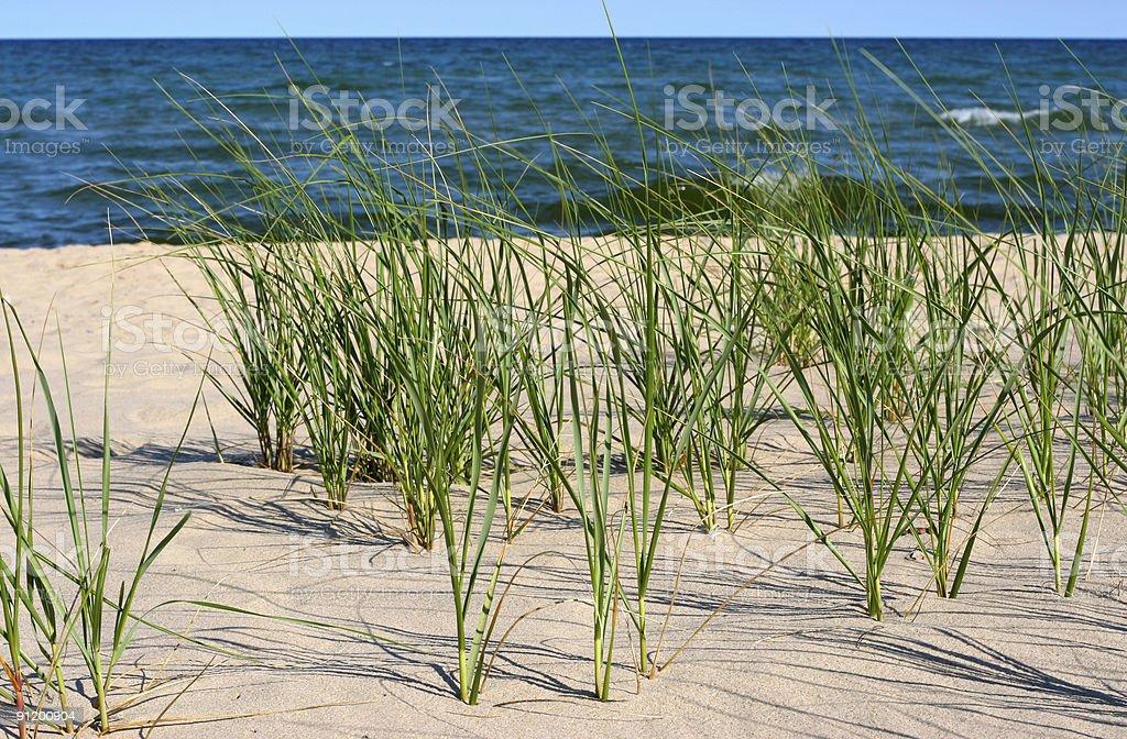 Sea oats stock photo